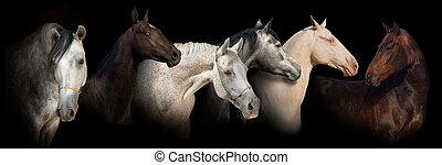 Six horse portrait banner - Six horse portrait on black...