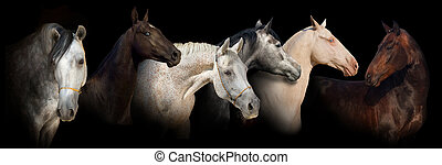 Six horse portrait banner - Six horse portrait on black ...