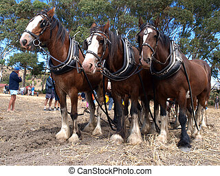 Six Horse Team waiting to continue ploughing