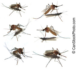 Isolated mosquitoes - Six Isolated mosquitoes taken with a...