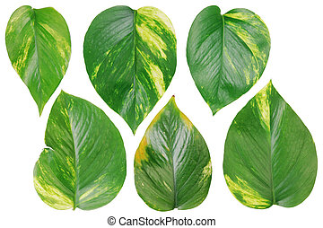 Six leaves of evergreen indoor plants of creeper set.