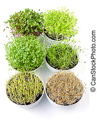 Six microgreens in white bowls, vertical. Sprouting shoots of radish, Chinese cabbage, kale, garlic, lentils and alfalfa in potting compost. Green seedlings, young plants and cotyledons. Food photo.