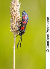Six-spot Burnet (Zygaena filipendulae) Moth on bright Green...