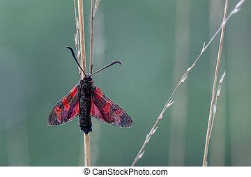 Six-spot Burnet (Zygaena filipendulae) Moth on Green...