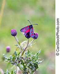 Six Spotted Burnet Moth