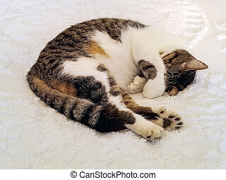 six-toed cat sleeping on bedspread - polydactyl cat sleeping...