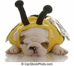 six week old english bulldog puppy dressed up as a bee