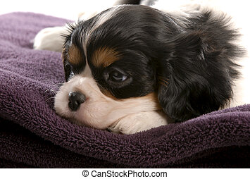 six week old tri color cavalier king charles spaniel puppy