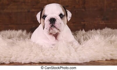 English Bulldog puppy - Six weeks old English Bulldog puppy...