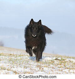 Six years old Groenendael running in winter - Nice six years...