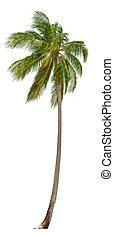 size., 隔離された, 白, xxl, ヤシの木, ココナッツ, バックグラウンド。