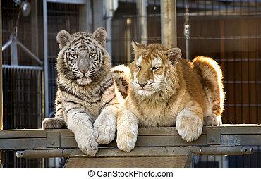 sjælden, bengal tiger, unger