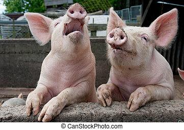 sjungande, pigs
