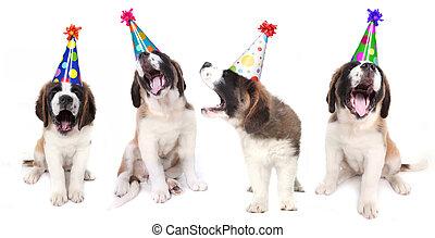 sjungande, sankt bernard, hundkapplöpning, fira