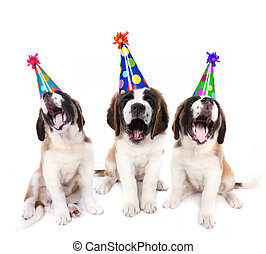 sjungande, sankt bernard, valpar, med, födelsedag festa, hattar