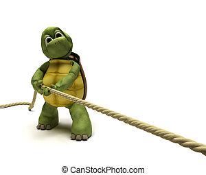 sköldpadda, dragande, på, a, rep