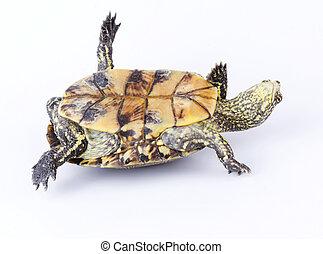 sköldpadda, nedåt, upside