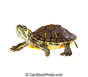 sköldpadda, på, ståta
