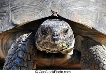sköldpadda, tillsluta