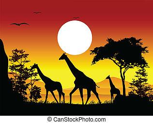 skönhet, silhuett, av, giraff, familj