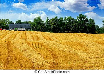 skörd, korn, fält