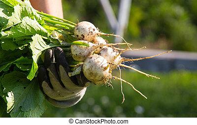 skörda, frisk, japansk, rova, grönsak