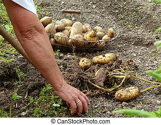 skörda, potatisarna