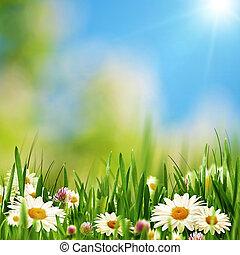 skønhed, bellis, blomster, på, den, sommer, eng, abstrakt,...