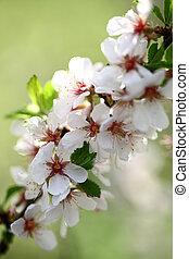 skønhed, blomster, i, æble