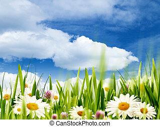skønhed, sommer, abstrakt, miljøbestemte, baggrunde, hos, bellis, blomster