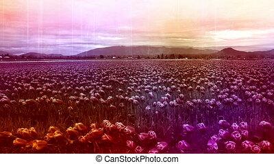 Skagit Tulip festival Mt Vernon Washington abstract shot...