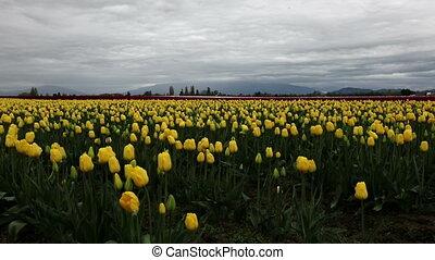 Skagit Tulip festival Mt Vernon Washington Shot four -...