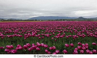 Skagit Tulip festival Mt Vernon Washington Shot three -...