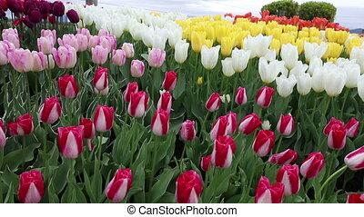 Skagit Tulip festival Mt Vernon Washington Shot two - Skagit...