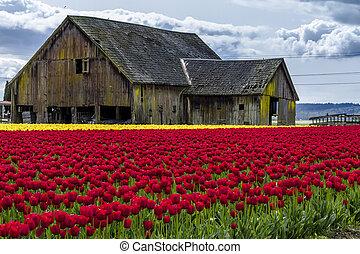 Skagit Valley Oregon Tulip Fields