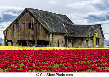 Rows of red and yellow tulip flowers in front of rustic old farm building on tulip bulb farm