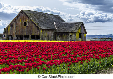 Skagit Valley Oregon Tulip Fields - Rows of red and yellow...