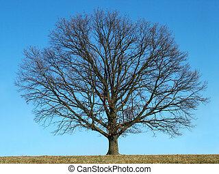 skallig, träd
