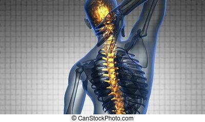 skandować, kręgosłup, nauka, backbone., anatomia, jarzący się, ludzki, kość, backache.