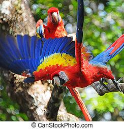 skarlagensrød macaw, honduras, kald