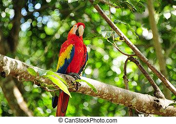 skarlagensrød macaw, honduras