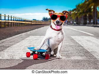 skater dog on skateboard - jack russell terrier dog riding a...