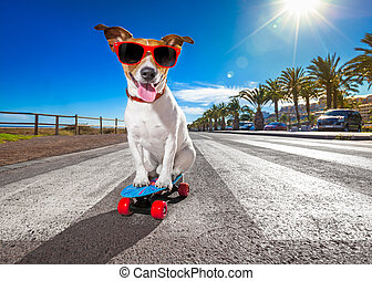 skater dog on skateboard - jack russell terrier dog riding a...