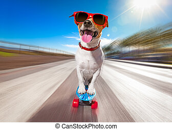 skater dog on skateboard - jack russell terrier dog riding...