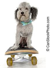 Skater Poodle - Mini poodle on a skateboard.