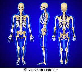 ske, anatomía, humano, ilustración