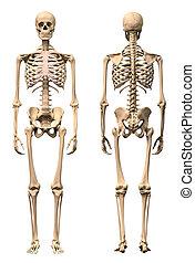 skelet, aanzichten, twee, back., menselijk, voorkant,...