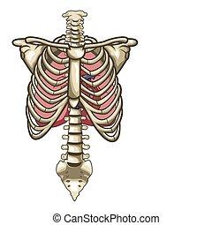 skelet, achtergrond, vrijstaand, anatomie, menselijk, witte , torso