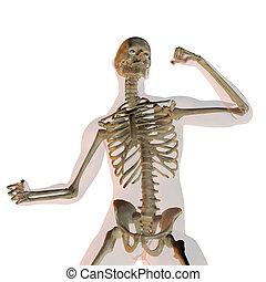 skelet, het tonen, vrijstaand, vecht, menselijk, wit...