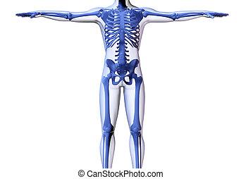 skelet, man